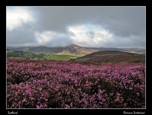 scottish Heather
